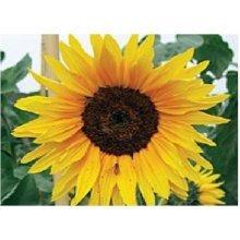 Flower - Sunflower - Autumn Beauty - 30 Seeds