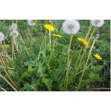 Wild Flower - Dandelion - Taraxacum Officinale - 1000 Seeds
