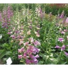 Flower - Digitalis - Foxy Mixed - 250 Seeds