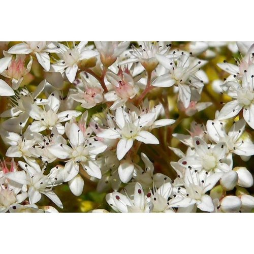 Flower - Sedum Album - White Stonecrop - 25000 Seeds