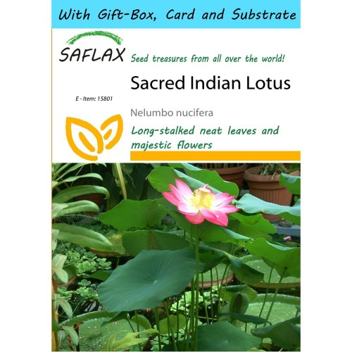 Saflax Gift Set - Sacred Indian Lotus - Nelumbo Nucifera   - 8 Seeds - with Gift Box, Card, Label and Potting Substrate
