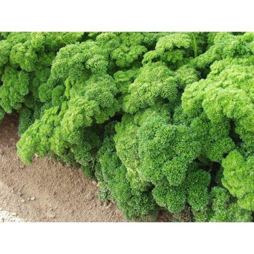 Organic Herb - Parsley - Grune Perle - 3000 Seeds