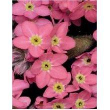 Flower - Forget Me Not - Myosotis - Sylvia Rose - 100 Seeds
