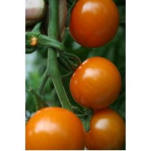 Vegetable - Tomato - Sungold F1 - 10 Seeds