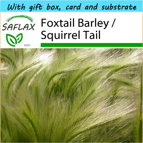 SAFLAX Gift Set - Foxtail Barley / Squirrel Tail - Hordeum jubatum - 70 seeds - With gift box, card, label and potting substrate