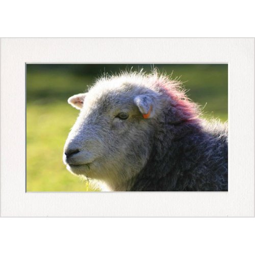 Punk Sheep Head Print in a Textured Card Picture Mount to put into your own frame