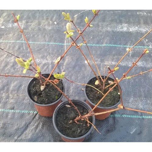 Honeyberry Plants grown in 9cm pots