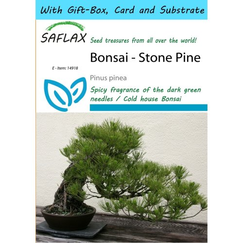 Saflax Gift Set - Bonsai - Stone Pine - Pinus Pinea - 6 Seeds - with Gift Box, Card, Label and Potting Substrate