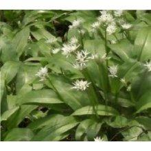 Wild Flower - Wild Garlic - Ramsons - Allium Ursinum - 500 seeds