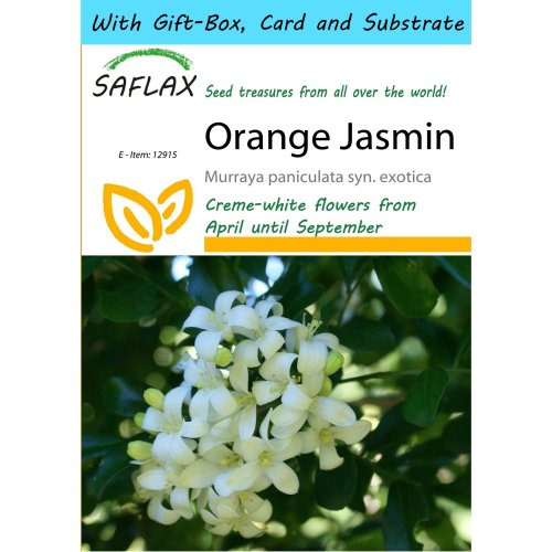 Saflax Gift Set - Orange Jasmin - Murraya Paniculata Syn. Exotica - 12 Seeds - with Gift Box, Card, Label and Potting Substrate