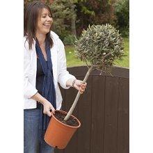 Olive Tree Standard 1M tall
