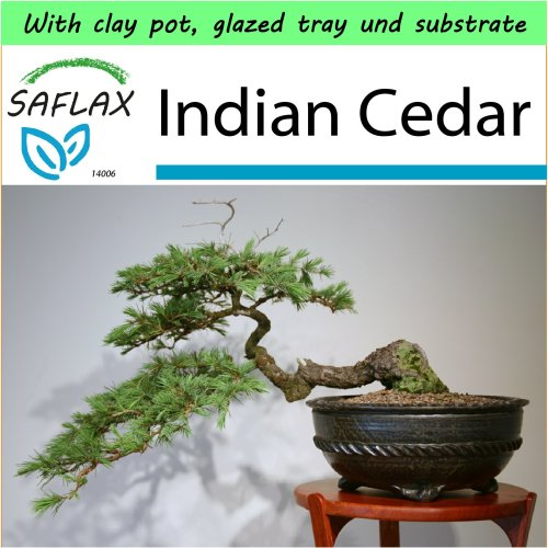 SAFLAX Garden to Go - Bonsai - Indian Cedar - Cedrus - 35 seeds