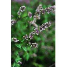 Herb - Catmint - Catnip - 1500 Seeds